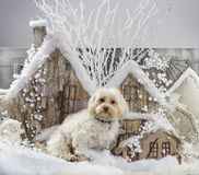 Maltese. In front of a Christmas scenery Stock Image