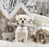 Maltese. In front of a Christmas scenery Royalty Free Stock Images