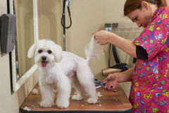 Maltese getting haircut, female groomer. Woman with scissors cutting fur Royalty Free Stock Images