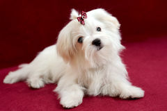 Maltese girl puppy on a red background. Portrait of a cute white long-haired Maltese girl on a red background. The puppy is 4 month old on the picture Stock Photo
