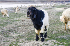 Maltese goat, goat pictures, black goat pictures, hairy goat pictures, goat grasses Royalty Free Stock Photo