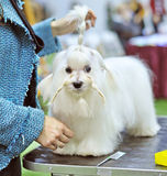 Maltese grooming dog. Grooming dog The Maltese is a small breed of dog in the Toy Group. It descends from dogs originating in the Central Mediterranean Area. The Royalty Free Stock Images