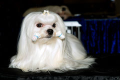 Maltese with hair rollers. Stock Photography