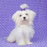 Maltese hond Stock Afbeelding