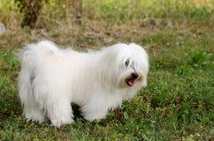 Maltese Hond Stock Fotografie