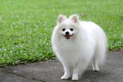 Maltese hond royalty-vrije stock fotografie