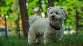 Maltese Hond stock foto's