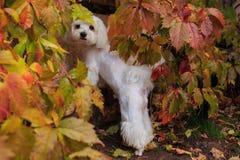 Maltese hond die de camera in het de herfsthout bekijken Stock Foto's