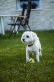 Maltese hond met tennisbal Royalty-vrije Stock Foto