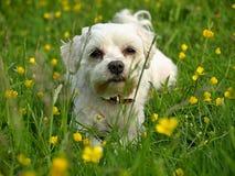 Maltese hond op een bloeiende weide royalty-vrije stock fotografie
