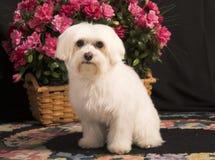 maltese hund Royaltyfri Bild