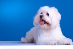 maltese hund Fotografering för Bildbyråer