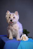 maltese hund Royaltyfri Fotografi