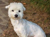 maltese hund Arkivfoton