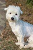 maltese hund Arkivbild