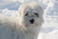 maltese hund Royaltyfri Foto