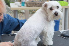 Maltese id groomed in a dog salon. The groomer woman is grooming a white Maltese dog sitting on the table. The dog is looking to the camera Stock Image