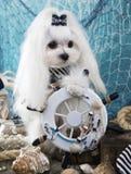 Maltese kapitein Dog royalty-vrije stock foto