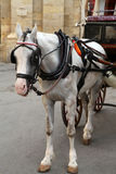 Maltese Karrozzin Horse. A Maltese taxi  horse waiting for a fare Royalty Free Stock Images