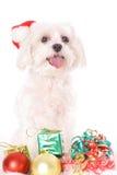 Maltese Kerstmis royalty-vrije stock foto