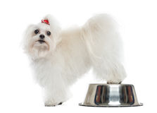 Maltese looking at the camera, rear legs on a bowl, isolated. On white Royalty Free Stock Image