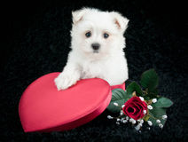 Maltese Love. Maltese puppy sitting in a heart shaped box with a red rose beside her on a black background Stock Photography