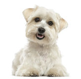 Maltese, lying down, panting, looking at the camera, isolated Stock Images