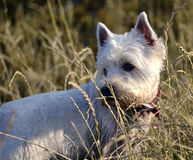 Maltese. R walk in the woods Royalty Free Stock Image
