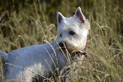 Maltese. R walk in the woods Royalty Free Stock Photo