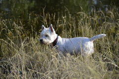 Maltese. R walk in the woods Royalty Free Stock Photos