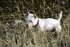 Maltese. R walk in the woods Royalty Free Stock Photography