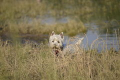 Maltese. R walk in the woods Stock Photography