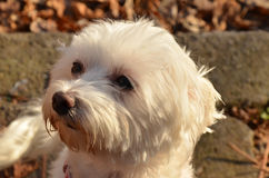 Maltese. My two year old maltese,out for photoshooting Stock Image
