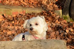 Maltese. My two year old maltese,out for photoshooting Stock Photo