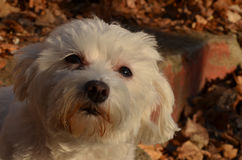 Maltese. My two year old maltese,out for photoshooting Royalty Free Stock Images