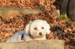 Maltese. My two year old maltese,out for photoshooting Royalty Free Stock Photography