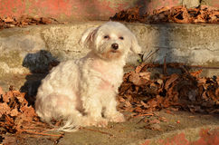 Maltese. My two year old maltese,out for photoshooting Stock Photos