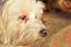 Maltese. My two year old maltese,out for photoshooting Royalty Free Stock Image