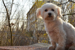 Maltese. My two year old maltese,out for photoshooting Royalty Free Stock Photo