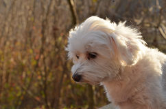 Maltese. My two year old maltese,out for photoshooting Royalty Free Stock Photos