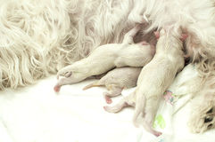 Maltese newborn dogs. One hour after born Stock Photography