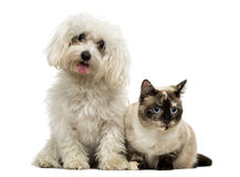 Maltese panting and Birman cat Stock Images