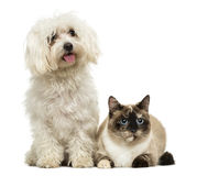 Maltese panting and Birman cat. Isolated on white Stock Image