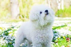 Maltese Pet Outdoor. Cute dog maltese in the park , pet outdoor Royalty Free Stock Photos