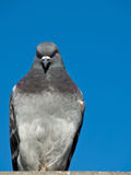 Maltese Pigeon. Pigeons looking much like the famed Maltese Falcon with copy space in blue sky to right Stock Images