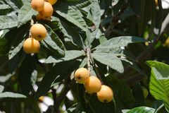Maltese plums on a tree. Ripe fruits on the Maltese plum tree Stock Images