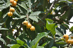 Maltese plums on a tree Royalty Free Stock Image