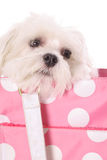 Maltese in polka dot purse Stock Photos