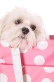 Maltese in polka dot purse. Isolated on white Stock Photos