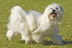 Maltese Poodle. A well groomed Maltese Poodle walks past Stock Images